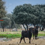 Gahirupe Toro Campo Victoriano 3