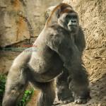 Gahirupe Gorila