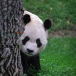 Gahirupe Oso Panda