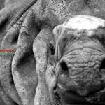 Gahirupe Rinoceronte Asiático